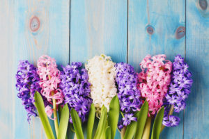 Mothers Day Flowers and Their Meanings Spring Hyacinth Copperleaf Community