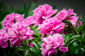 Mothers Day Flowers and Their Meanings Pink Peonies Copperleaf Community